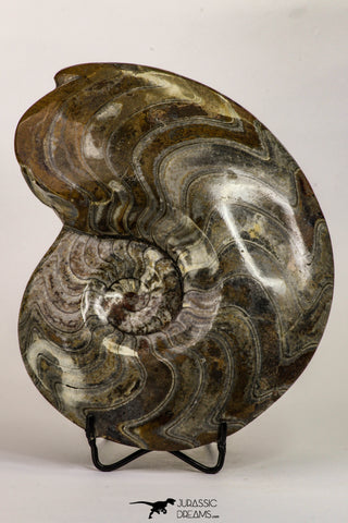 09121 - Great Huge 7.09 Inch Polished Goniatites Devonian Cephalopod