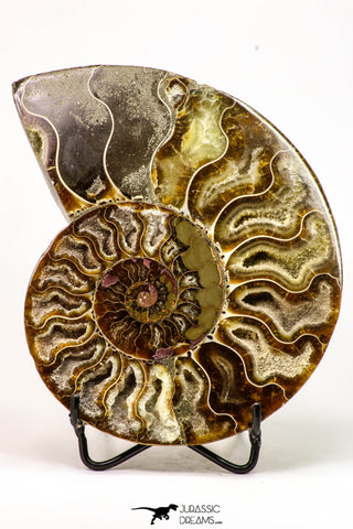 09123 - Cut & Polished 5.47 Inch Cleoniceras sp Lower Cretaceous Ammonite Madagascar - Agatized