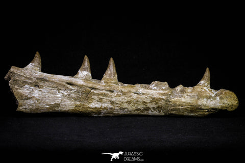 20955 - Great 9.61 Inch Platecarpus ptychodon (Mosasaur) Partial Right Hemi-Jaw Cretaceous