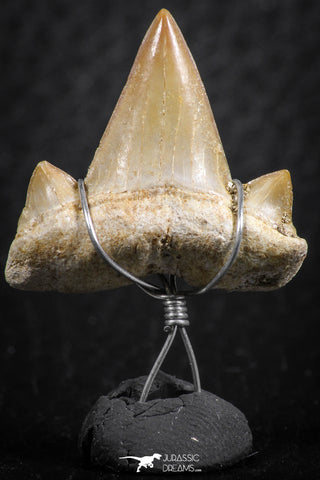 06380 - Small Wire Wrapped 0.83 Inch Cretolamna aschersoni (mackerel shark) Tooth Pendant