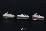 06396 - Great Collection of 3 Hexanchus microdon Shark Teeth Paleocene