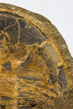 09142 - Top Beautiful 3.44 Inch Positive/Negative Unidentified Asaphid Ordovician Trilobite - Taouz Outcrops