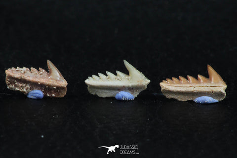 06399 - Great Collection of 3 Hexanchus microdon Shark Teeth Paleocene