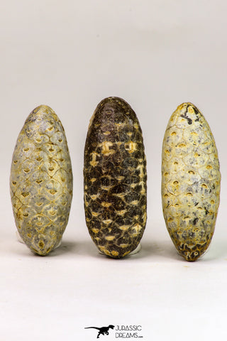 09148 - Beautiful Collection of 3 Fossilized Silicified Pine Cones Equicalastrobus Eocene Sahara Desert