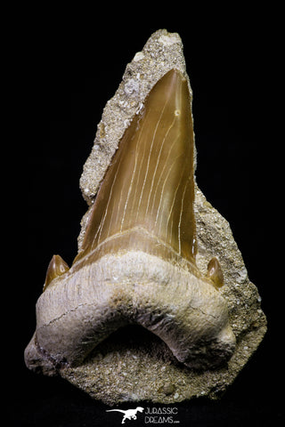 20971 - Top Huge 2.54 Inch Otodus obliquus Shark Tooth in Matrix Paleocene