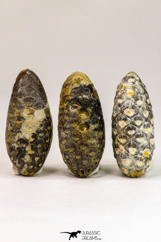 09150 - Great Collection of 3 Fossilized Silicified Pine Cones Equicalastrobus Eocene - Sahara Desert