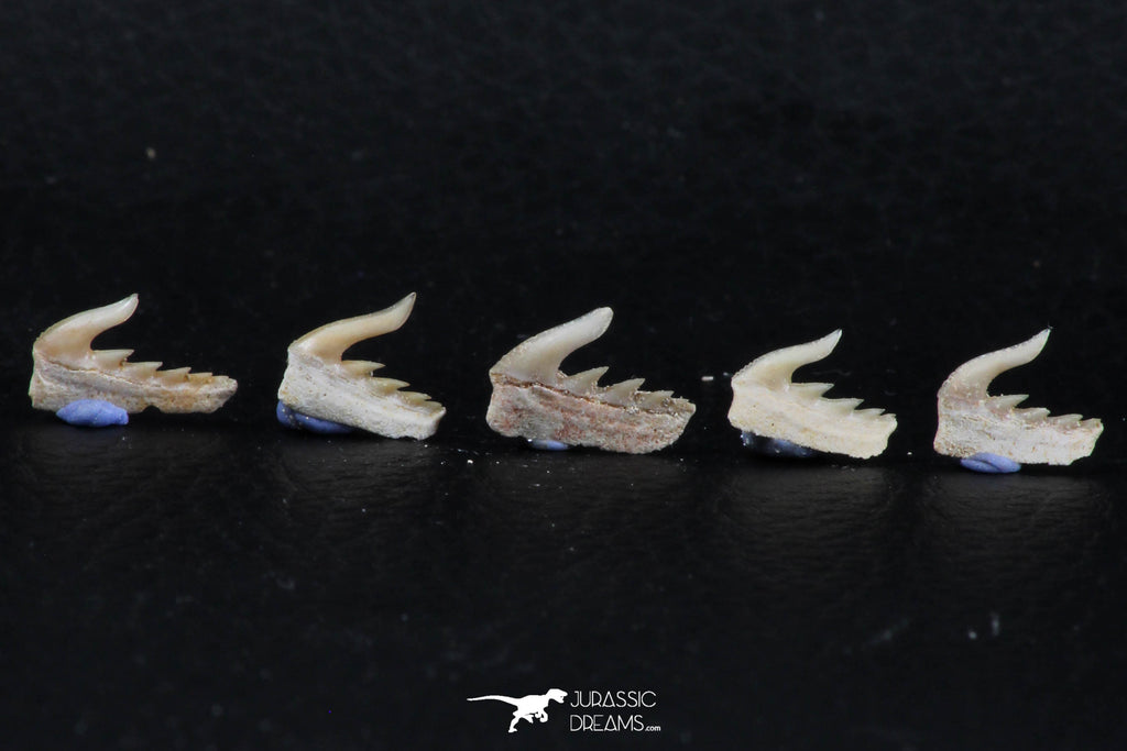 06413 - Great Collection of 5 Weltonia ancistrodon Shark Teeth Paleocene