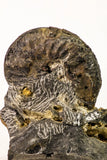 09158 - Top Beautiful Association of Unidentified Jurassic Ammonites - Atlas Mountains