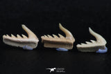 06420 - Great Collection of 3 Weltonia ancistrodon Shark Teeth Paleocene