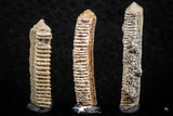 06422 - Great Collection of 3 Myliobatis Stingray Dental Plates Paleocene