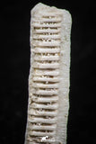 06431 - Great Collection of 2 Myliobatis Stingray Dental Plates Paleocene