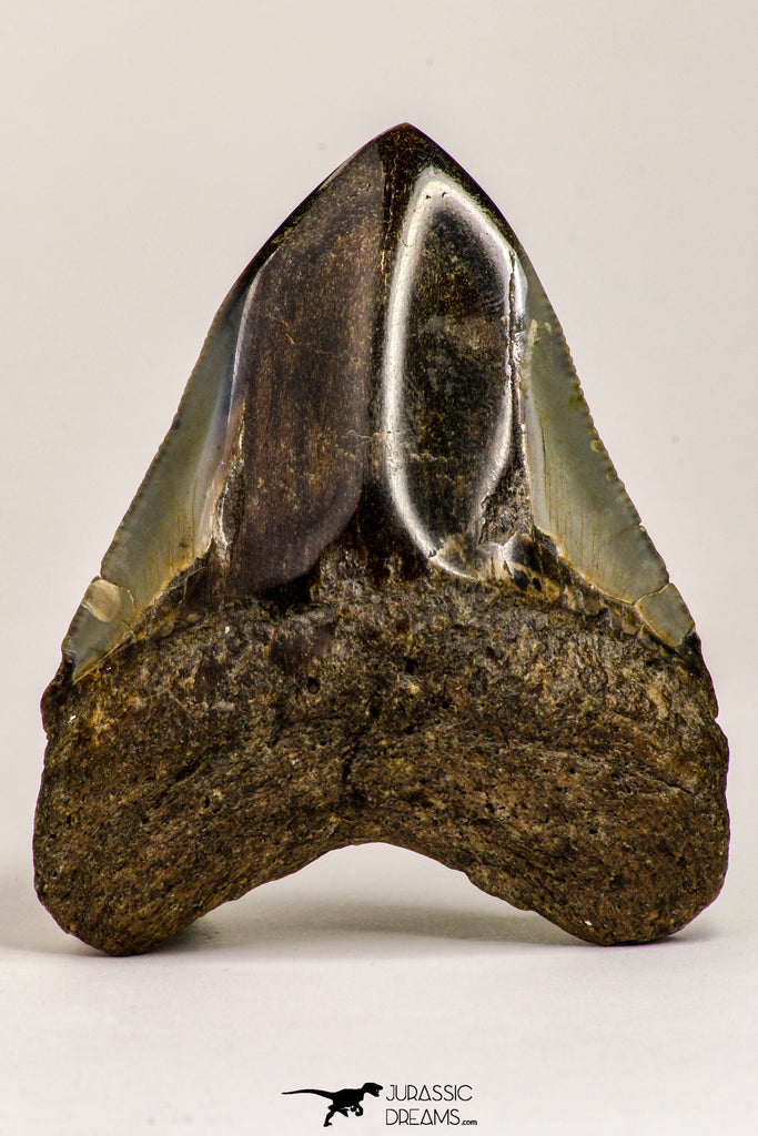 09170 - Top Beautiful 2.93 Inch Megalodon Shark Tooth Miocene South Carolina - USA