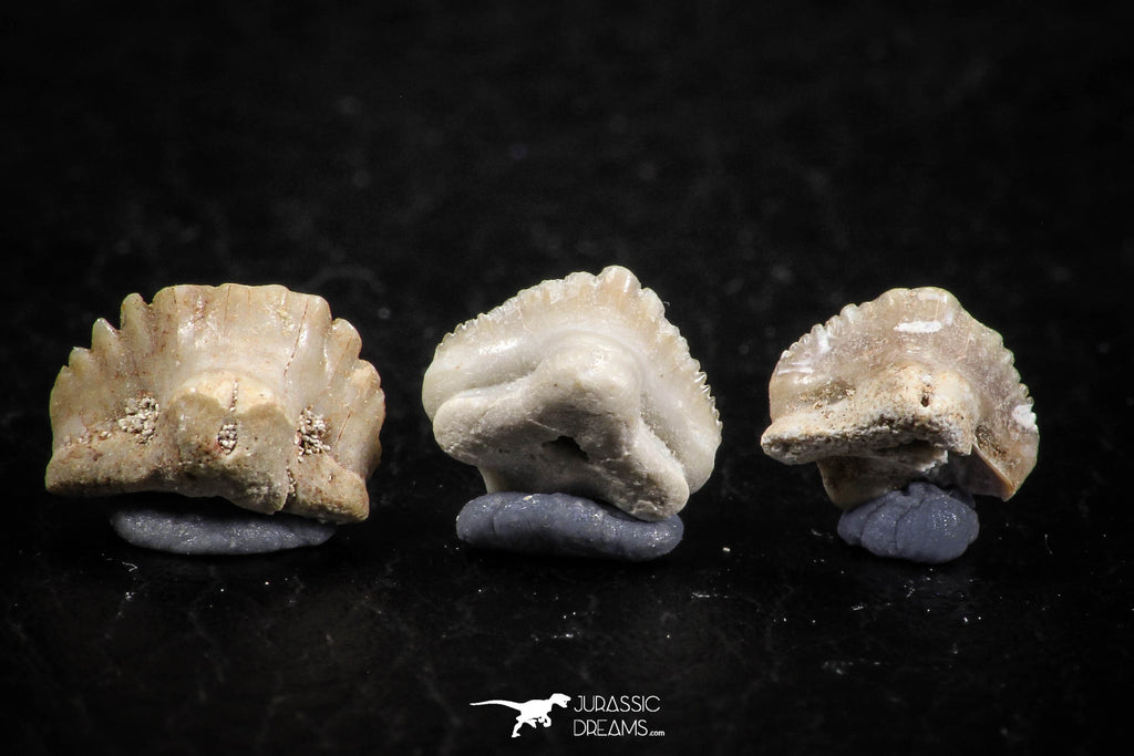 06432 - Great Collection of 3 Ginglymostoma sp Nurse Shark Teeth Paleocene