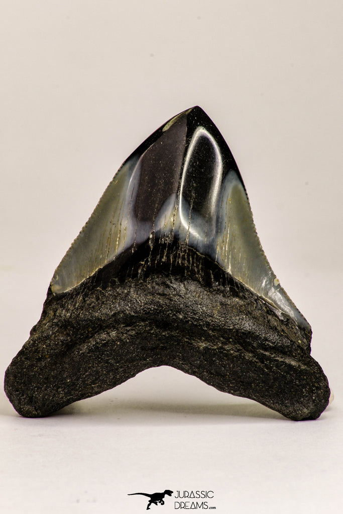 09171 - Great 2.65 Inch Megalodon Shark Tooth Miocene South Carolina - USA