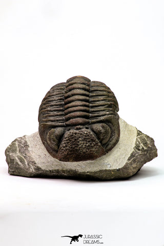 09174 - Well Prepared 3.09 Inch Drotops megalomanicus Middle Devonian Trilobite