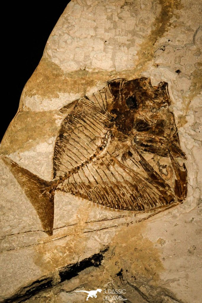 40000- Museum Grade 7.87 Inch Mene rhombea (Moonfish) with Preserved Stomach - Eocene Monte Bolca Italy