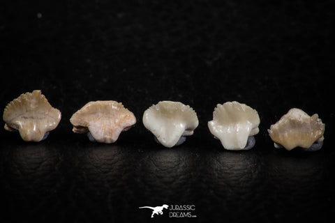 06438 - Great Collection of 5 Ginglymostoma sp Nurse Shark Teeth Paleocene