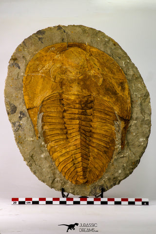 09177 - Top Huge 8.58 Inch Cambropallas telesto Middle Cambrian Trilobite