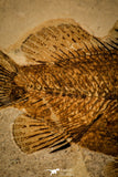 40002- Museum Grade 6.88 Inch Eolates sp Fossil Fish - Eocene Monte Bolca Italy