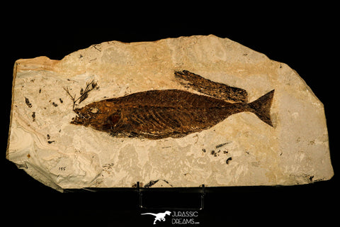 40003- Museum Grade 11.8 Inch Seriola sp Fossil Fish + Plant - Eocene Monte Bolca Italy