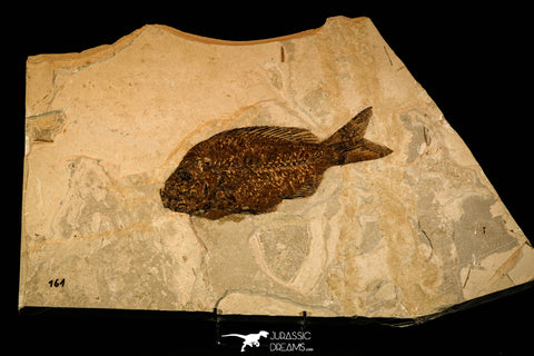 40004- Museum Grade 9.44 Inch Sparnodus sp Fossil Fish - Eocene Monte Bolca Italy