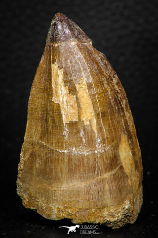 05259 - Well Preserved 2.13 Inch Mosasaur (Prognathodon anceps) Tooth