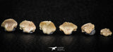 06440 - Great Collection of 6 Ginglymostoma sp Nurse Shark Teeth Paleocene