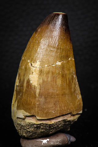 05260 - Beautiful 2.42 Inch Mosasaur (Prognathodon anceps) Tooth