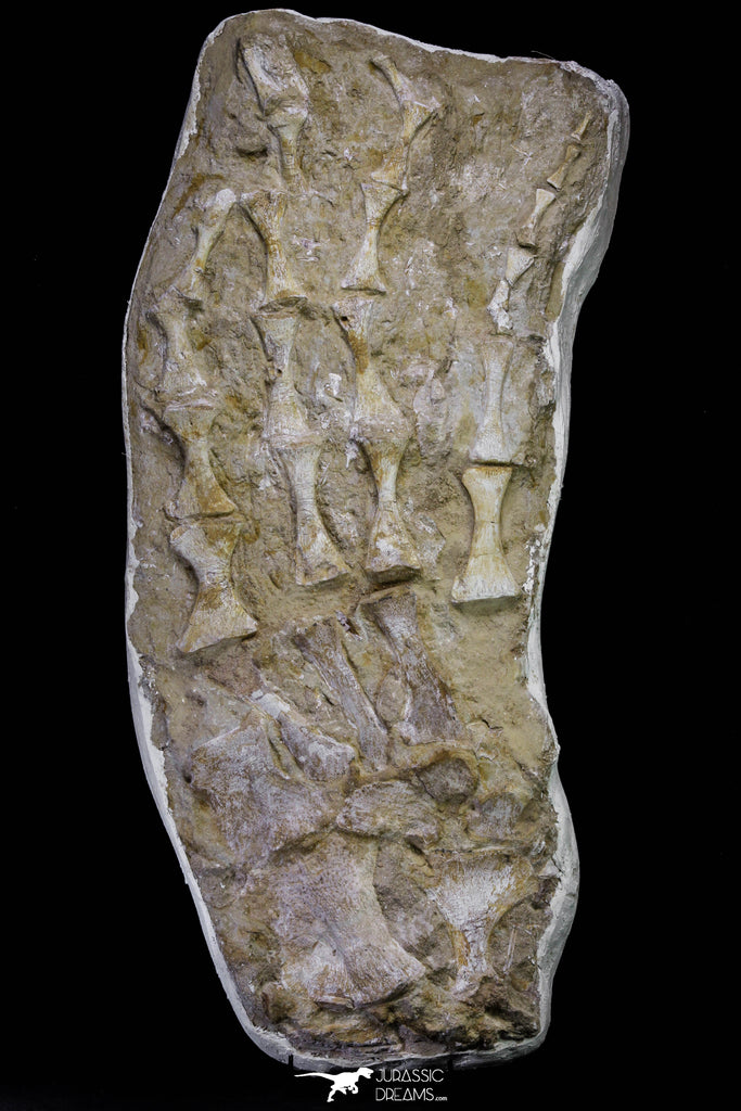 20995 - Museum Grade 23.07 Inch Unidentified Mosasaur Complete Paddle Limb Bones