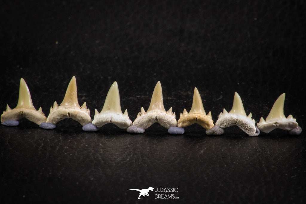 06451 - Great Collection of 7 Brachycarcharias atlasi Sand Tiger Shark Teeth Paleocene