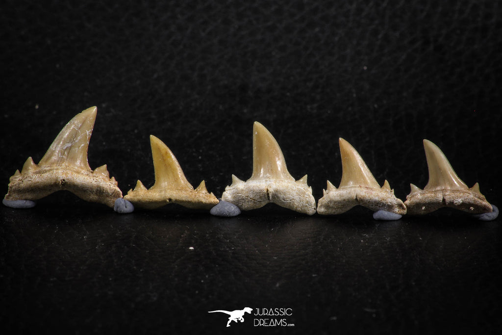 06455 - Great Collection of 5 Brachycarcharias atlasi Sand Tiger Shark Teeth Paleocene