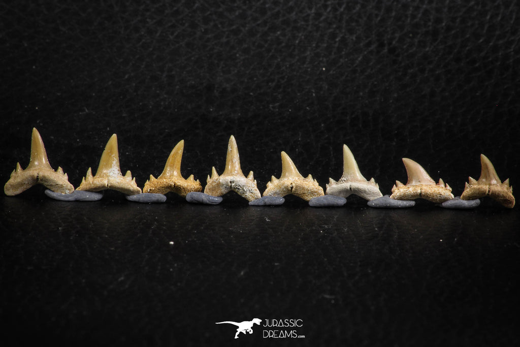 06456 - Great Collection of 8 Brachycarcharias atlasi Sand Tiger Shark Teeth Paleocene