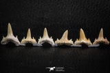 06457 - Great Collection of 6 Brachycarcharias atlasi Sand Tiger Shark Teeth Paleocene