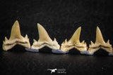 06458 - Great Collection of 7 Brachycarcharias atlasi Sand Tiger Shark Teeth Paleocene
