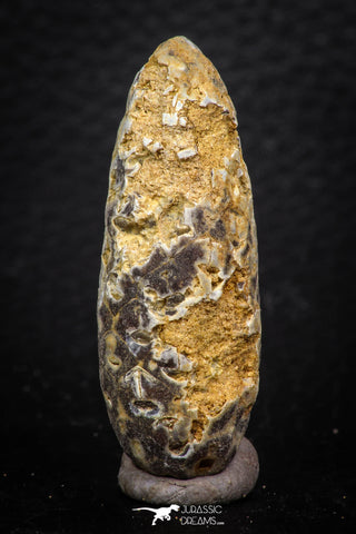 05323 - Beautiful 1.78 Inch Fossilized Silicified Pine Cone EQUICALASTROBUS Eocene Sahara Desert