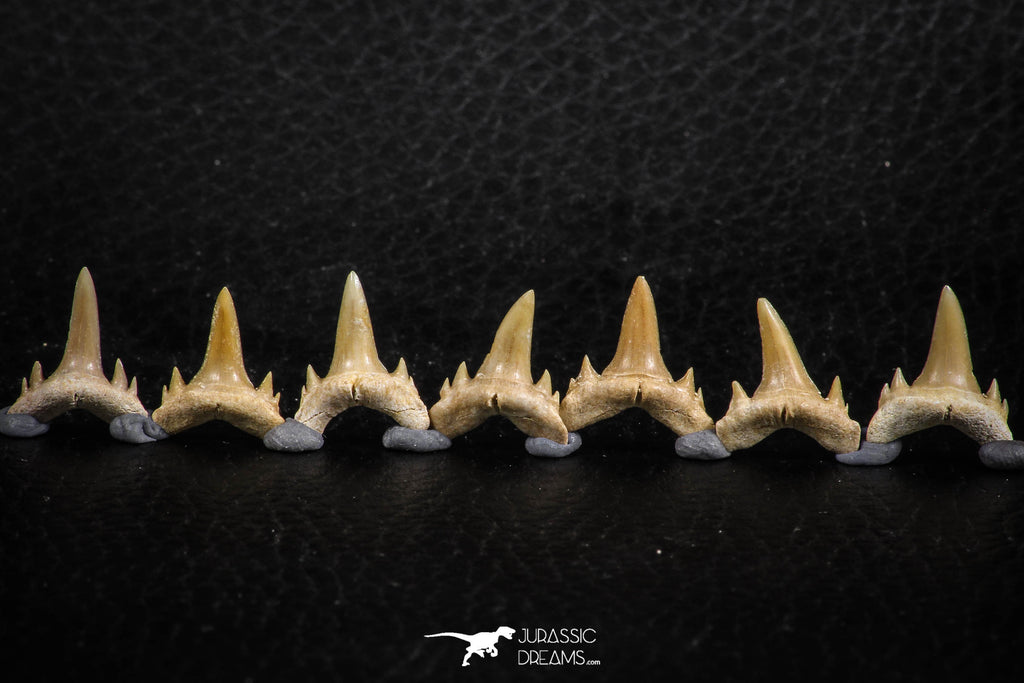 06462 - Great Collection of 7 Brachycarcharias atlasi Sand Tiger Shark Teeth Paleocene