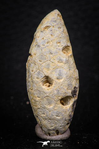 05327 - Beautiful 1.61 Inch Fossilized Silicified Pine Cone EQUICALASTROBUS Eocene Sahara Desert