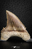 06464 - Strongly Serrated 1.49 Inch Palaeocarcharodon orientalis (Pygmy white Shark) Tooth