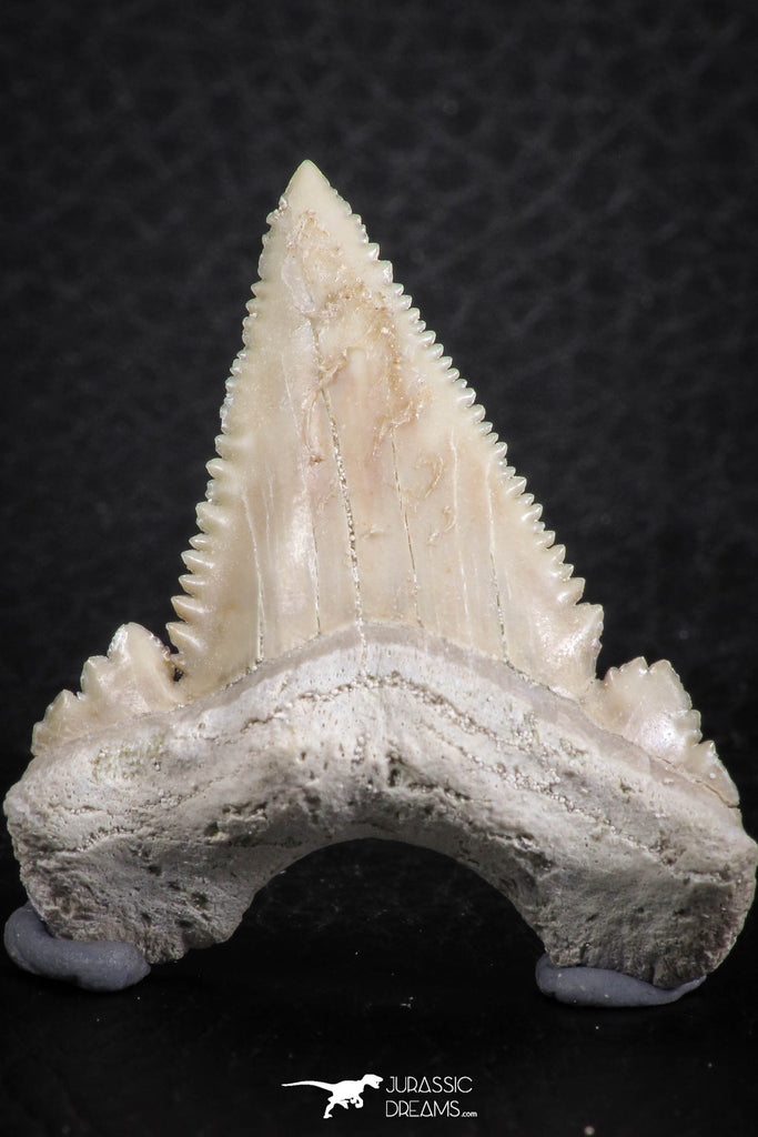 06466 - Nicely Serrated 1.53 Inch Palaeocarcharodon orientalis (Pygmy white Shark) Tooth
