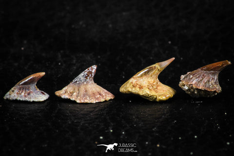 06472 - Great Collection of 4 Onchopristis numidus Cretaceous Sawfish Rostral Teeth Cretaceous