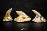 06475 - Great Collection of 3 Onchopristis numidus Cretaceous Sawfish Rostral Teeth Cretaceous
