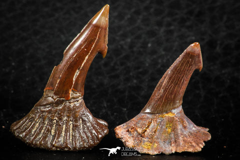 06476 - Great Collection of 2 Onchopristis numidus Cretaceous Sawfish Rostral Teeth Cretaceous