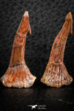 06481 - Great Collection of 4 Onchopristis numidus Cretaceous Sawfish Rostral Teeth Cretaceous