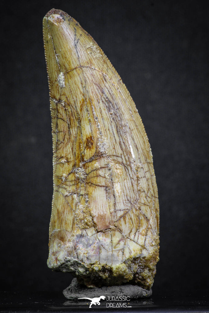 07001 - Nicely Preserved 2.55 Inch Carcharodontosaurus Dinosaur Tooth KemKem Beds