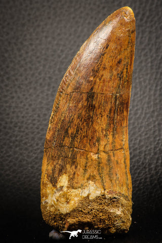 07046 - Top Huge Serrated 3.76 Inch Carcharodontosaurus Dinosaur Tooth KemKem