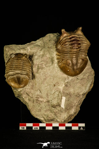 30034 - Top Association 2 Asaphus punctatus Middle Ordovician Trilobites Russia