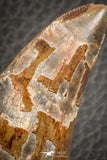 07048 - Advanced Collector Grade 2.64 Inch Carcharodontosaurus Dinosaur Tooth KemKem