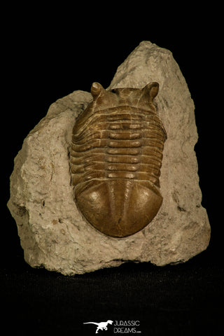 30042 - Nicely Preserved Asaphus punctatus Middle Ordovician Trilobite Russia