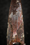 07055 - Collector Grade 1.28 Inch Pterosaur (Coloborhynchus) Tooth Cretaceous KemKem