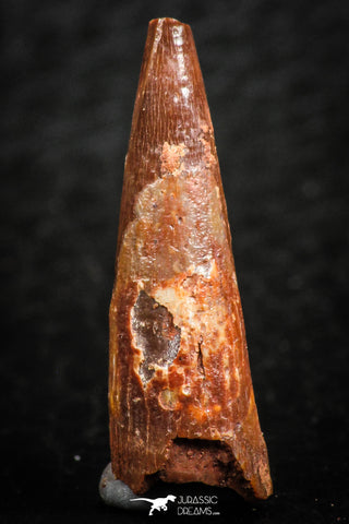 07058 - Beautiful Red 0.91 Inch Pterosaur (Coloborhynchus) Tooth Cretaceous KemKem